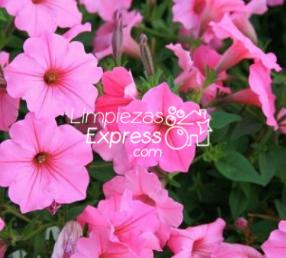 petunias, geranios, jardin en casa