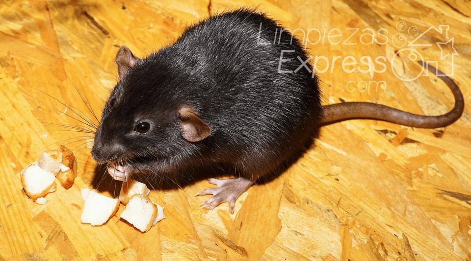 C mo prevenir las ratas de tu casa los mejores consejos - Como eliminar ratas en casa ...