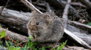 ahuyentar roedores, mantener la casa libre de roedores, espantar a las ratas, evitar presencia de ratas
