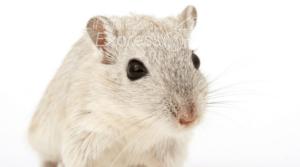 prevenir presencia de ratas, ahuyentar a las ratas, espantar ratas, prevenir plagas de ratas