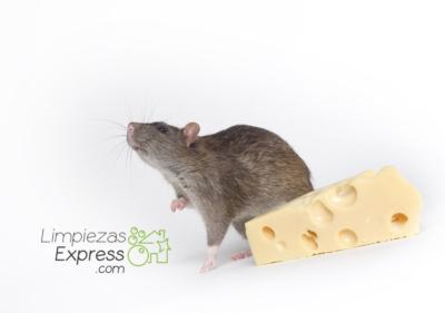 roedores en el hogar, roedores en la casa