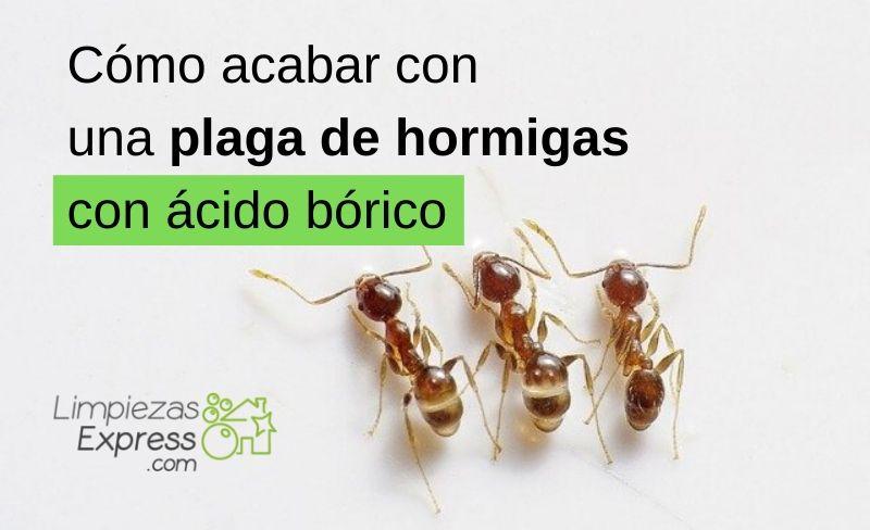 Cómo acabar con una plaga de hormigas con ácido bórico