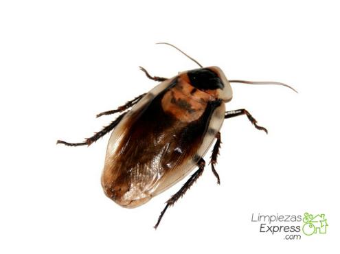 cómo detectar la presencia de cucarachas en casa, detectar cucarachas en casa, como se que hay cucarachas en casa,