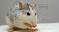 cómo ahuyentar ratones de casa. eliminar ratones de casa, evitar ratones en casa
