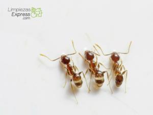 cómo eliminar las hormigas, eliminacion de hormigas en el hogar, acabar con las hormigas en casa,