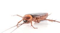 eliminar cucarachas, evitar la presencia de cucarachas, detectar cucarachas