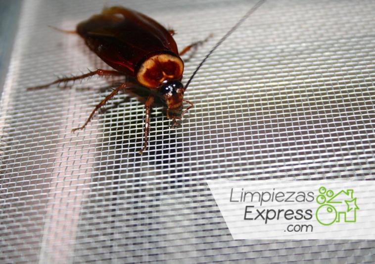 infestación de cucarachas, acabar con cucarachas en casa, remedios para matar cucarachas,