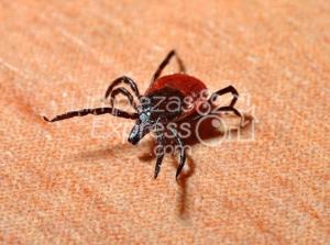 exterminio pulgas, garrapatas o chinches Madrid