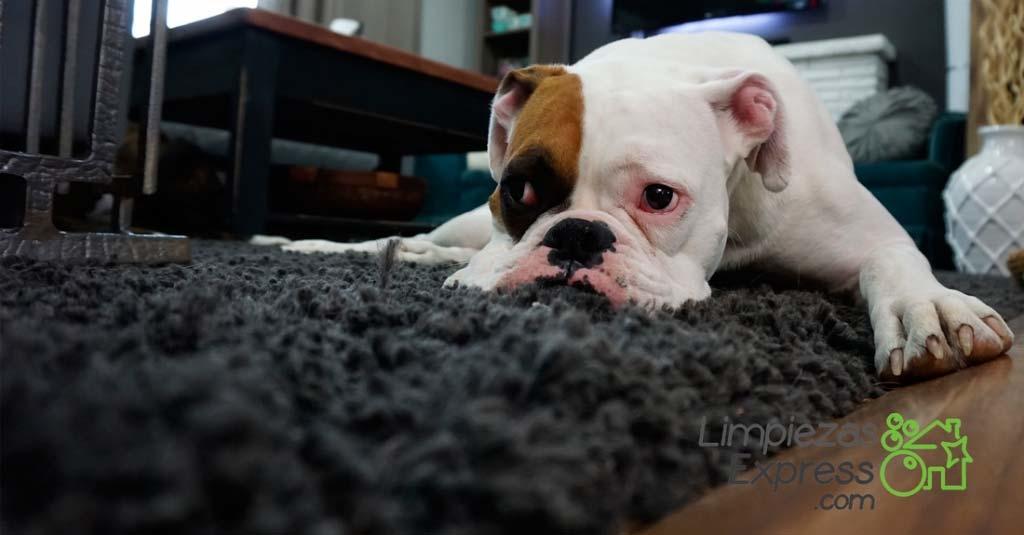 limpieza de viviendas con mascotas, limpieza de viviendas con perros, limpieza profesional de casas habitadas con mascotas, limpieza profesional de pisos