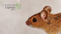 deshacerte de los ratones, cómo matar ratones, fumigar una casa con ratones,