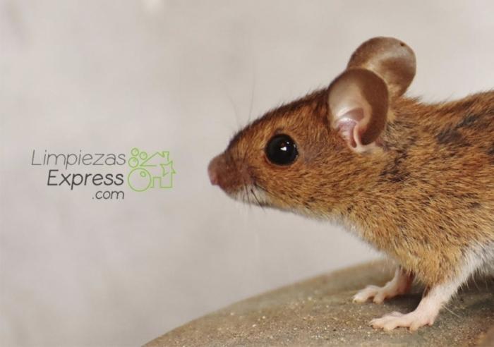 Cómo deshacerte de los ratones para siempre
